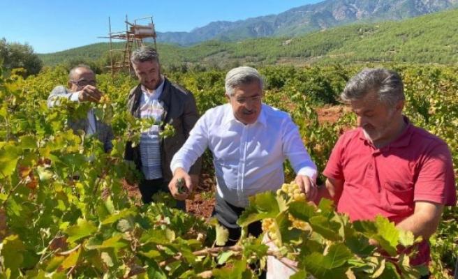 Hassa'da bağbozumu ve   üzümün pekmeze dönüşümü