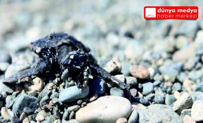 Samandağ sahilinde   petrole bulanmış ölü   deniz kaplumbağası bulundu