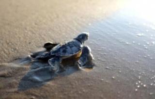 Son dakika gündem: 550 bin yavru deniz kaplumbağası...