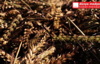 Hatay'da Yeşil Buğday   hasadı başladı
