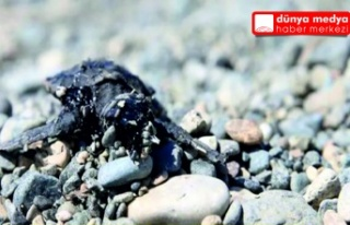 Samandağ sahilinde petrole bulanmış ölü deniz...