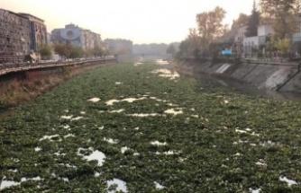 Su sümbülleri, Asi Nehri'ni kapladı