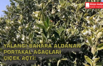 Yalancı Bahara Aldanan Portakal Ağaçları Çiçek Açtı!