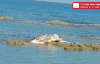 Ölü anguslar Arsuz kıyısına vurdu