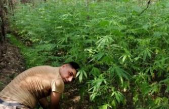 Hatay'da 4 bin 715 kök    kenevir bitkisi ele geçirildi