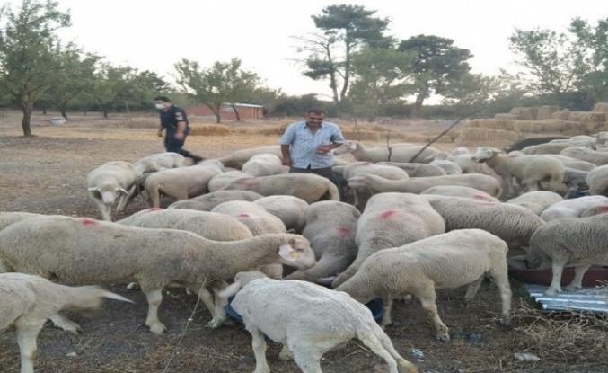 Samandağ'da Kaybolan Koyunlar Bulundu!