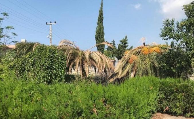 İskenderun'da Palmiye ve hurma ağaçları   Kırmızı Böcek istilası altında
